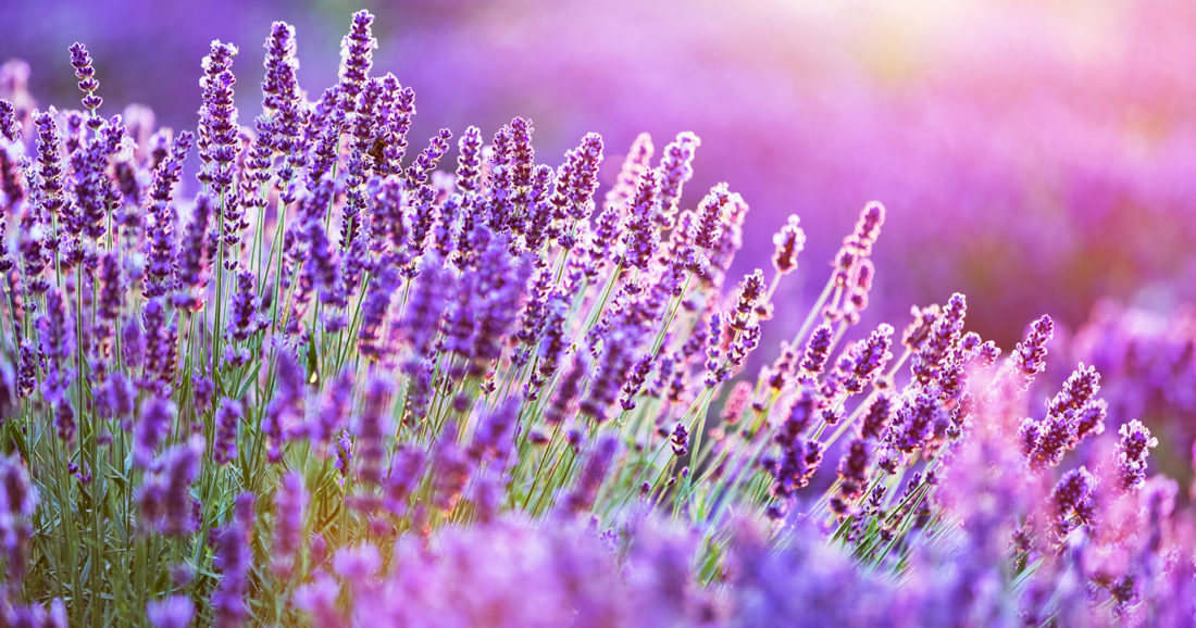 Laguna Lavender - Upper Hunter Valley